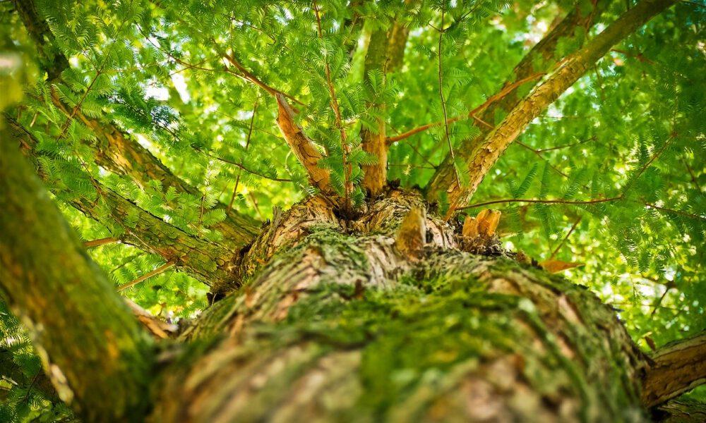 Blick Entlang Eines Stamms In Die Grüne Baumkrone