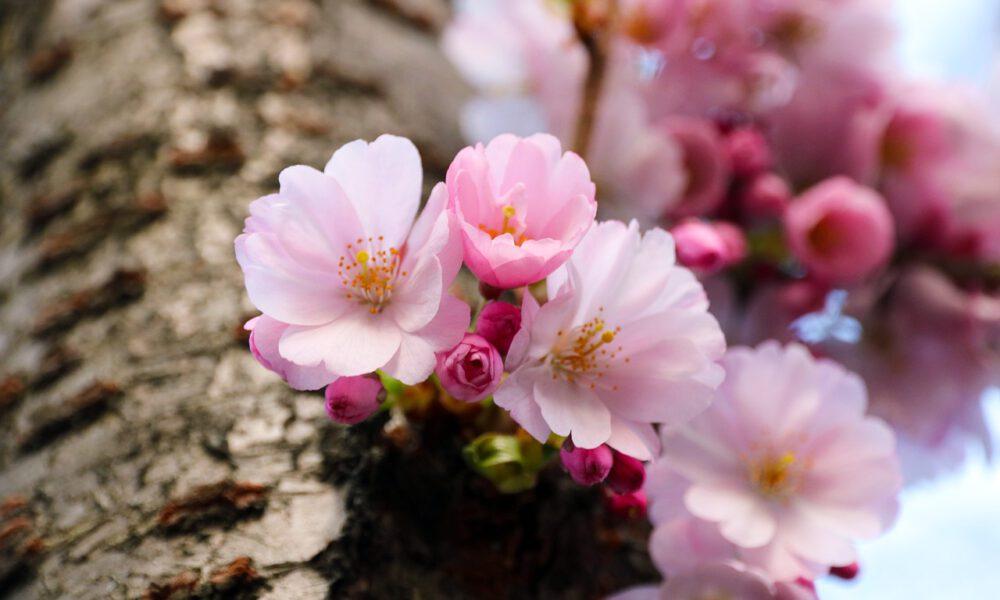 Rosa Frühlingsknospen An Einem Baumstamm