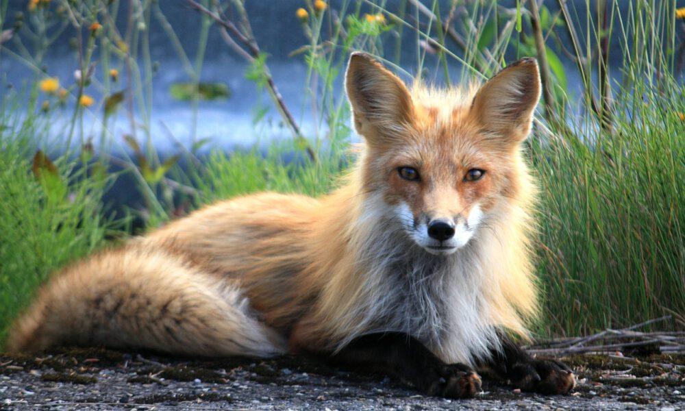 Ein Fuchs Mit Seidigem Fell