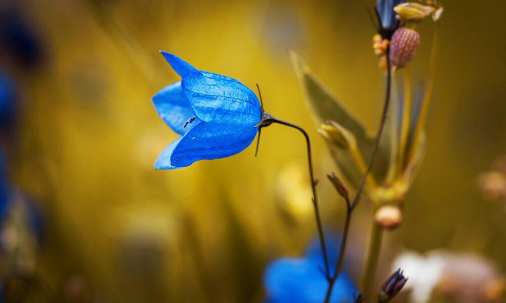 Blaue Glockenblume Auf Einer Wiese