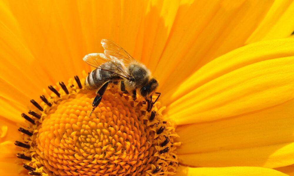 Honigbiene Beim Nektarsammeln Auf Gelber Blüte