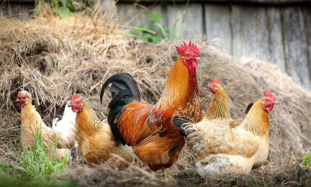Bauernhofszene Mit Hühnern Und Hahn