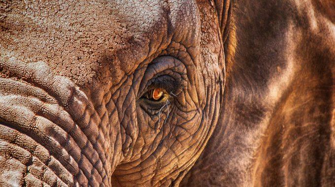 Nahaufnahme Eines Elefanten
