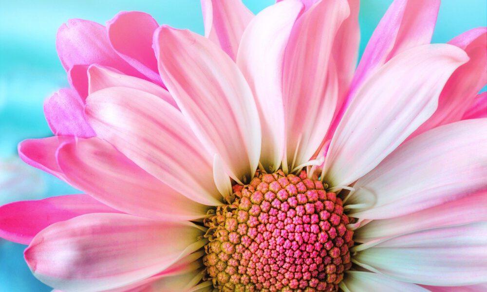 Rosa Gerbera In Voller Blüte