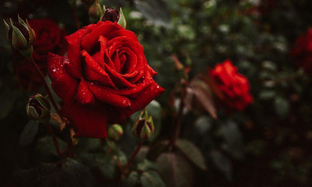 Rote Rosenblüte Mit Regentropfen