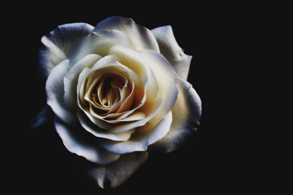 CD-Cover Mit Weißer Rose Auf Dunklem Grund