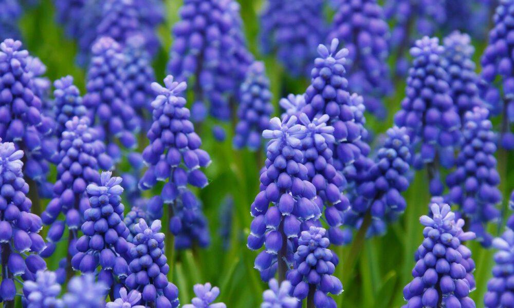Violette Traubenhyazinthen In Voller Blüte