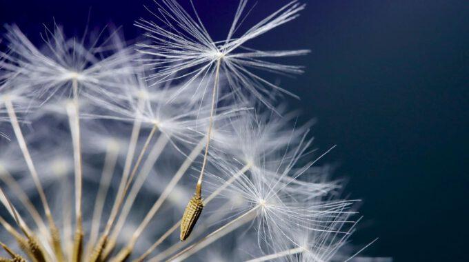Ein Lowenzahn-Samen Hebt Zum Abflug An